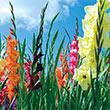 Field Grade Gladiolus Plant