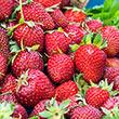 Honeoye Junebearing Strawberry Plant