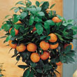 Dwarf Calamondin Orange Plant