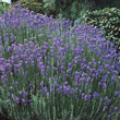 Hardy Lavender Plant
