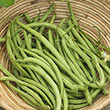 Early Contender Bush Bean Seed