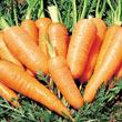 Danvers Half Long Carrot Seed