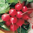 Cherry Belle Radish Seed