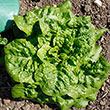 Buttercrunch Head Lettuce Seed