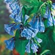 Virginia Bluebells Plant