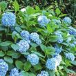 All Summer Beauty Hydrangea Plant
