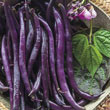 Purple Queen Improved Bush Bean Seed