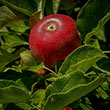 Burgundy Apple Tree