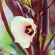 French Quarter Pink Hybrid Okra Seed