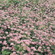 Penngift Crown Vetch Plant
