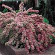 Pink Splash Variegated Weigela Tree