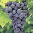 Everest Seedless™ Grape Vine