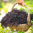 York Elderberry Plant