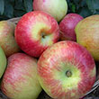 Anders Apple Tree