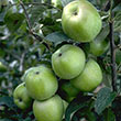 Newtown Pippin Apple Tree