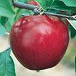 Rome Beauty Apple Tree