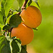 Tropic Gold Apricot Tree