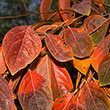 Tamopan Persimmon Tree