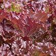 Red Velvet Leaf Lettuce