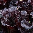 Dark Roden Leaf Lettuce