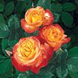 Chihuly<sup>®</sup> Floribunda Rose