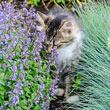 Purrsian Blue Catmint Plant