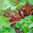 Hardy Tarty<sup>™</sup> Rhubarb Plant