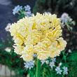 Summer Cheer Daffodil Bulb