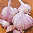 Deerfield Purple Hardneck Garlic