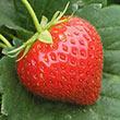 Charlotte Strawberry Plant