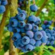 Reka Northern Highbush Blueberry Plant