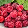 Meeker Raspberry