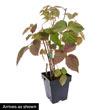 Triple Crown Thornless Blackberry Plant