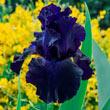 Ozark Rebounder Reblooming German Iris