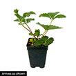 Jewel Junebearing Strawberry Plant
