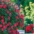 Red Double Knock Out<sup>®</sup> Rose Plant