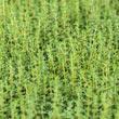 German Winter Thyme Seed