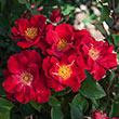 Top Gun™ Shrub Rose Plant