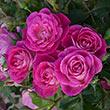 Easy To Please™ Floribunda Rose