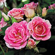 Whimsy™ Miniature Rose