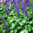 Big Blue Salvia Seed