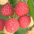 Prelude Raspberry Plant