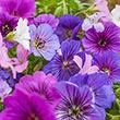 Blue and White Hardy Geranium Mix