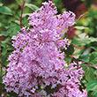 Josee Reblooming Lilac Plant