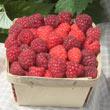 Boyne Raspberry Plant