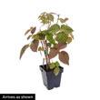 Red Latham Raspberry Plant