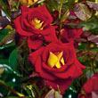 Ketchup & Mustard™ Floribunda Rose