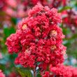 Enduring Summer Reblooming Crape Myrtle - Lavender