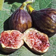 Hardy Chicago Fig Tree