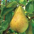 Kieffer Improved Pear Tree